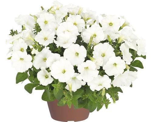 Hängepetunie FloraSelf Petunia x atkinensis 'White Ray' Ø 12 cm Topf