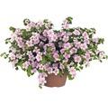 Schneeflockenblume FloraSelf Bacopa sutera 'Pink Heart' Ø 12 cm Topf