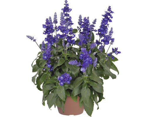 Mehl-Salbei FloraSelf Salvia farinacea 'Sallyfun Deep Ocean' Ø 12 cm Topf