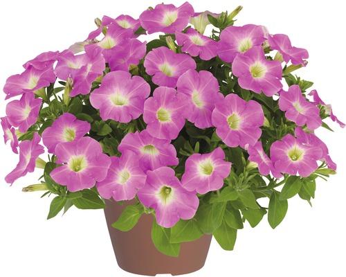 Petunie FloraSelf Petunia x Hybride 'Baroque Pink Ray' Ø 12 cm Topf