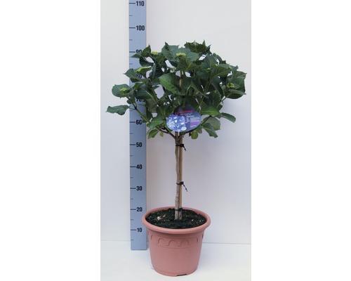 Gartenhortensie, Bauernhortensie FloraSelf Hydrangea macrophylla H 40-50 cm Co 8,7 L