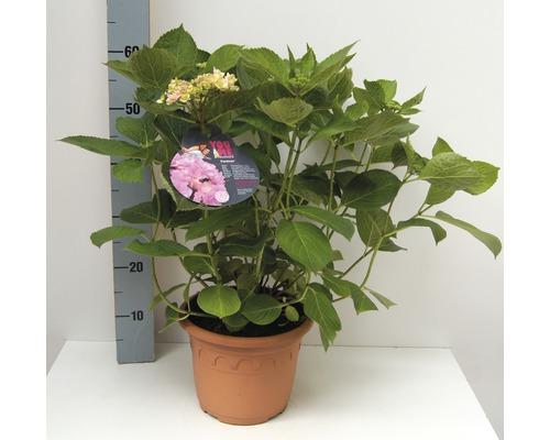 Tellerhortensie FloraSelf Hydrangea intermedia 'Forever' H 30-40 cm Co 4,6 L