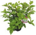 Rispenhortensie Hydrangea paniculata 'Wim's Red' H 40-50 cm Co 7,5 L