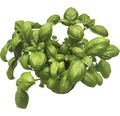 Basilikum FloraSelf Bio Ocimum basilicum Ø 12 cm Topf