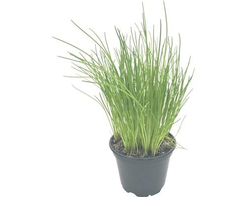 Schnittlauch FloraSelf Bio Allium schoenoprasum Ø 12 cm Topf
