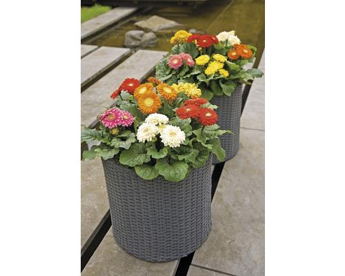 Gerbera FloraSelf FloraSelf Gerbera x Hybride 'Durora In- & Outdoor' Ø 25 cm Topf