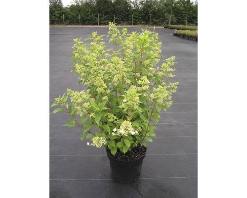 Rispenhortensie Hydrangea paniculata 'Kyushu' H 50-60 cm Co 7,5 L