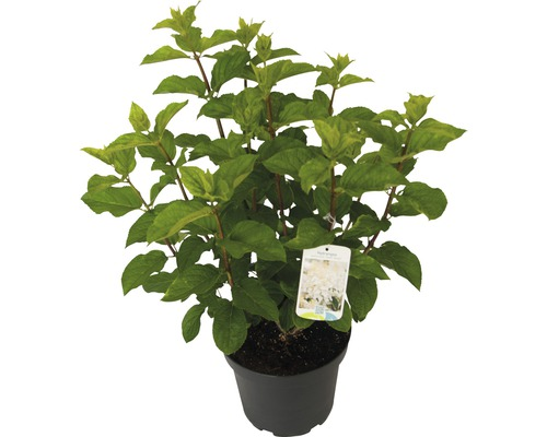 Rispenhortensie Hydrangea paniculata 'Silver Dollar' H 60-80 cm Co 7,5 L