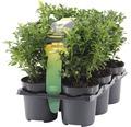 Buchsbaum FloraSelf Buxus sempervirens H 10-15 cm 6 Stk