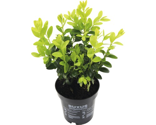 18 x Buchsbaum FloraSelf Buxus sempervirens H 10-15 cm Ø 9 cm Topf