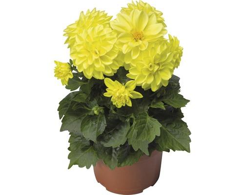 Dahlie FloraSelf Dahlia x Hybride Ø 12 cm Topf