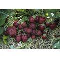 Erdbeere Hummi Fragaria x ananassa 'Aroma-Auslese' Ø 7 cm Topf 12 Stk