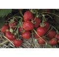 Erdbeere Hummi Fragaria x ananassa 'Gento' Ø 7 cm Topf 12 Stk