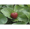 Erdbeere Hummi Fragaria x ananassa 'Herzle' Ø 7 cm Topf 12 Stk