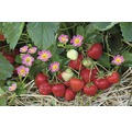 Erdbeere Hummi Fragaria x ananassa 'Merosa' Ø 9 cm Topf Stk 6 Stk