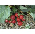 Erdbeere Hummi Fragaria x ananassa 'Rimona' Ø 9 cm Topf Stk 6 Stk