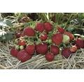 Erdbeere Hummi Fragaria x ananassa 'Praline' Ø 7 cm Topf 12 Stk
