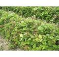Erdbeere Hummi Fragaria x vesca 'Waldfee' Ø 9 cm Topf 6 Stk