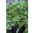 Erdbeere Hummi Fragaria x vesca 'Weiße Fee' Ø 9 cm Topf 6 Stk