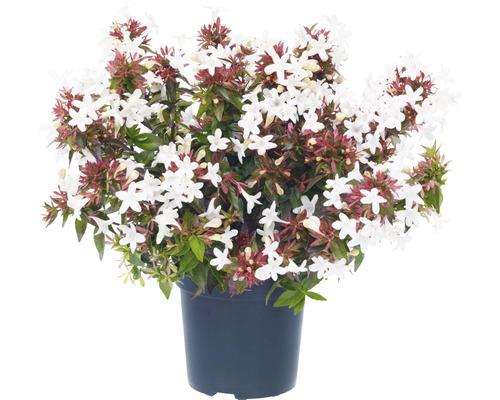 Abelie FloraSelf Abelia grandiflora H 20-30 cm Ø 25 cm Topf