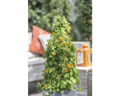 Orange Schwarzäugige Susanne Pyramide FloraSelf Thunbergia alata Gesamthöhe ca. 90 cm Ø 19 cm Topf