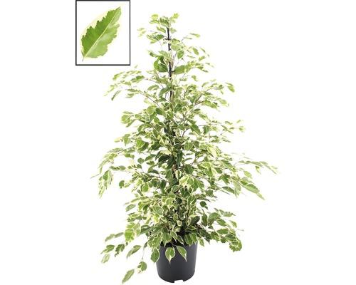 Birkenfeige FloraSelf Ficus benjamina 'Twilight' H ca. 110 cm Ø 21 cm Topf