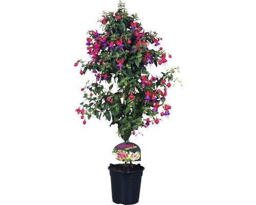 Fuchsie-Stämmchen FloraSelf Fuchsia-Cultivars H 35-50 cm Ø 18 cm Topf