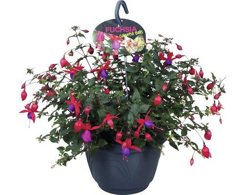 Fuchsie Ampel FloraSelf Fuchsia-Cultivars Ø 21 cm Topf zufällige Sortenauswahl