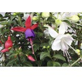 Fuchsie zweifarbig FloraSelf Fuchsia-Cultivars Ø 19 cm Topf sortiert