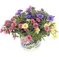 Zauberglöckchen FloraSelf Calibrachoa x Hybride Ø 13 cm Topf