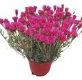 kriechende Mittagsblume FloraSelf Lampranthus spectabilis Ø 15 cm Topf