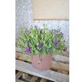 kriechende Mittagsblume FloraSelf Lampranthus spectabilis Ø 21 cm Topf