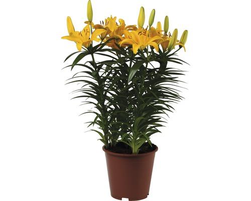 Asiatische Lilie FloraSelf Lilium asiatic Ø 19 cm Topf