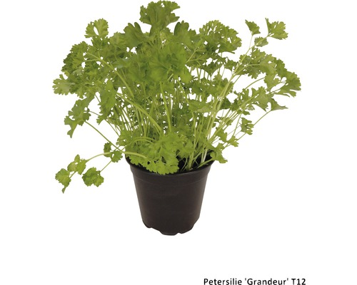 Petersilie FloraSelf Petroselinum crispum 'Grandeur' Ø 12 cm Topf