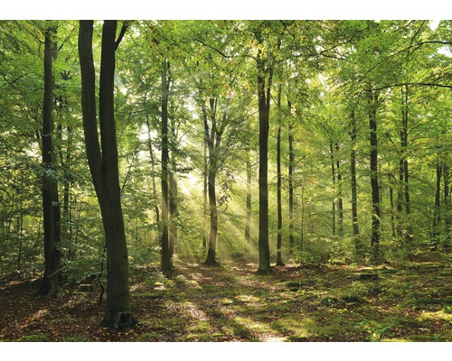 Fototapete Vlies Forrest morning 350 x 260 cm