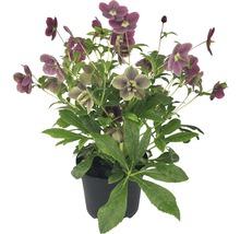 Christrose 'Viv' FloraSelf Helleborus x Hybride 'Viv' Ø 17 cm Topf