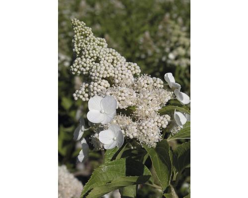 Rispenhortensie Hydrangea paniculata 'Kyushu' H 125-150 cm Co 18 L