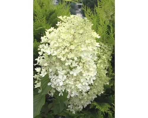 Rispenhortensie FloraSelf Hydrangea paniculata 'Phantom' H 100-125 cm Co 15 L