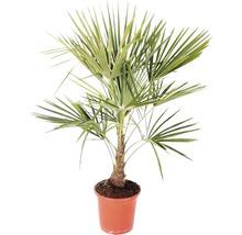 Hanfpalme Trachycarpus fortunei H 60-80 cm Ø 25 cm Topf