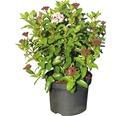 Mittelmeer Schneeball FloraSelf Viburnum tinus 'Lisarose' H 40-50 cm Co 5 L
