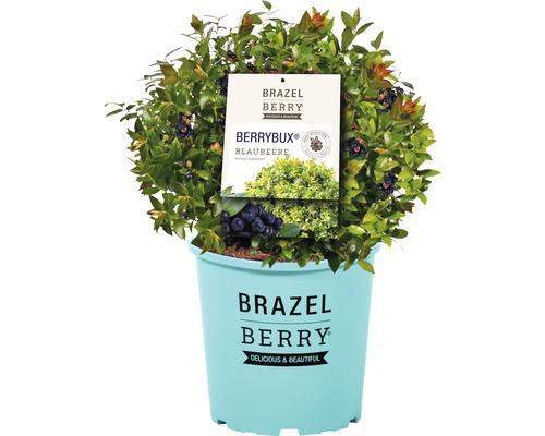Heidelbeere BrazelBerry® Vaccinium angustifolium 'BerryBux' 30-35cm Co 6,5L
