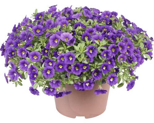 Zauberglöckchen FloraSelf Calibrachoa x Hybride 'Colibri Olum' Ø 12 cm Topf