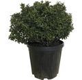 Stechpalme FloraSelf Ilex meserveae 'Little Rascal' H 40-45 cm Co 20 L