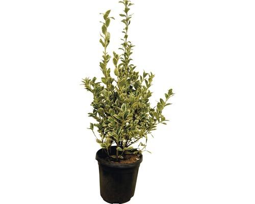 Spindelstrauch FloraSelf Euonymus japonicus 'Bravo' H 60-80 cm Co 10 L