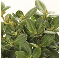 Buchsbaum-Kugel FloraSelf Buxus sempervirens H 35-40 cm Co 10 L