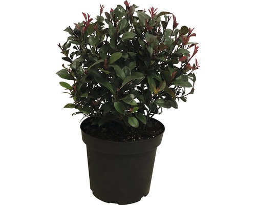 Glanzmispel FloraSelf Photinia x fraseri 'Little Red Robin' Ø 25-30 cm Co 10 L
