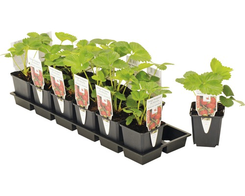 Erdbeere FloraSelf Fragaria x ananassa 'Senga® Sengana' Ø 9 cm Topf