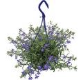 Hängelobelie FloraSelf Lobelia richardii Ø 21 cm Topf