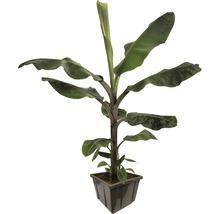 Speisebanane FloraSelf Musa paradisiaca 'Dwarf Cavendish' Ø 27 cm Topf