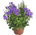 Glockenblume FloraSelf Campanula portenschlagiana 'Dark Take Blue' Ø 12 cm Topf